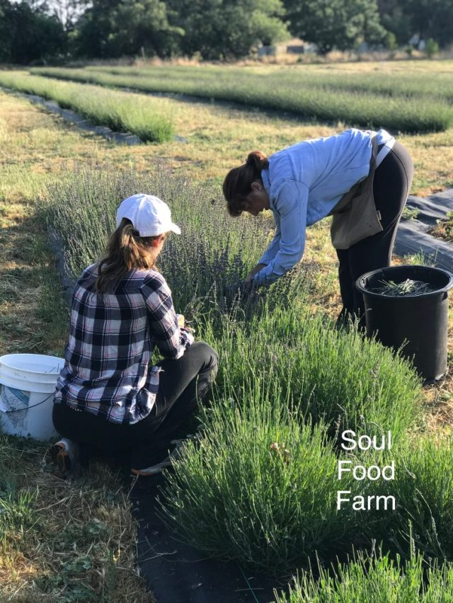 Harvesting Lavender at Soul Food Farm